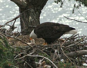 Mother bald eagle feeds three-day-old chick in nest, Gulf Islands BC