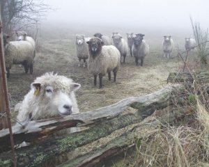 Sheep in winter mist, Pender Island BC