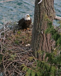 Mother bald eagle stands guard on nest edge with two eggs, Gulf Islands BC