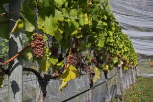 Grapes protected by netting, Saturna Island BC