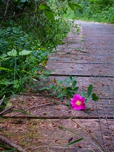 Wild rose lying on board walk of forest trail.