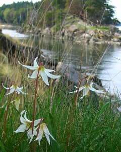 Fawn lilies at Boat Passage, Saturna Island.