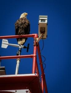 bals eagle